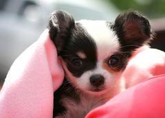 velmi zdravé štěně čivava na prodej,
